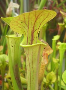 """Sarracenia Flava v. Flava """"Santee Coastal Reserve, IPF99"""". carnivorous plant.  Due to customs and CITES regulations, bids from within the European Union only please."""