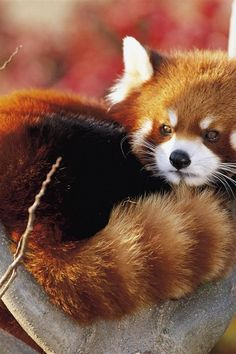 Red Panda... cutest thing ever!