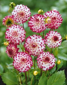 flower seeds 100 pcs/bag dahlia flower dahlia seeds charming bonsai flower seeds (not dahlia bulbs) High germination home garden potted plantNot Not or NOT may refer to: Exotic Flowers, Orange Flowers, Amazing Flowers, Beautiful Flowers, Dahlia Flowers, White Flowers, Roses, Bloom, Herbaceous Perennials