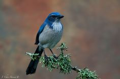 Western Scrub Jay from my photoblind this morning at a friends house in Willits, Northern California