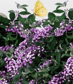Bodembedekker Buddleia 'Bloomtastic Dreaming Lavender'. Een gloednieuwe vlinderstruik die ook als bodembedekker kan dienen! Deze nieuwe soort groeit dankzij de hangende takken en bloemen in de breedte! De 20-30 cm lange bloemen geuren heerlijk en trekken vlinders magnetisch aan. Bloeit ongewoonlijk vroeg en lang! Gegarandeerd winterhard tot -20 ° C. Bloeiperiode: april-september.