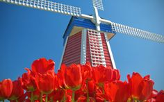 Tapety kvety príroda - Windmill and Tulips, Woodburn, Oregon Amsterdam Wallpaper, Amsterdam Tulips, Tilting At Windmills, Dutch Netherlands, Visit Amsterdam, Widescreen Wallpaper, High Quality Wallpapers, Cool Backgrounds, Le Moulin