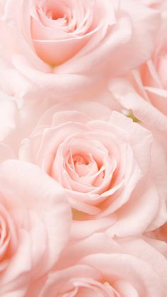 Pink Roses - Flower Wallpaper for iPhone and Android
