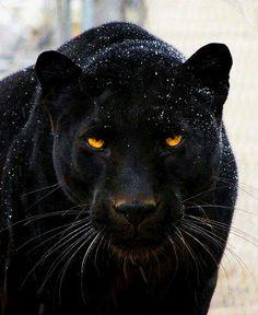 Panthère noire de chez noir