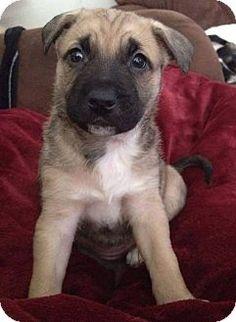 Garden City, MI - German Shepherd Dog Mix. Meet Whisper, a puppy for adoption. http://www.adoptapet.com/pet/12523012-garden-city-michigan-german-shepherd-dog-mix
