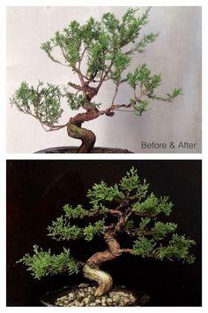Pre Bonsai, Mini Bonsai, Bonsai Art, Bonsai Plants, Bonsai Garden, Acer Palmatum, Juniper Bonsai, Bonsai Styles, Live Plants