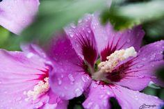 Flower after Rain