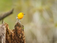 Nesting Prothonotary Warbler - Prothonotary Warbler (Protonotaria citrea)  | Show Me Nature Photography
