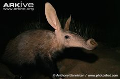 Aardvark (Orycteropus afer) - The aardvark can eat up to 50,000 insects each night which it collects with its sticky tongue that it can extend to 30cm.