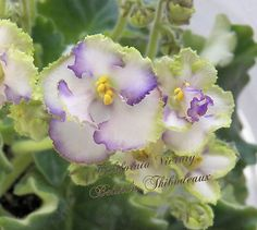 African Violet Plant California Victory | eBay California Victory (Lyndon Lyon Greenhouses) Single-semidouble white fringed pansy/purple to green edge. Medium green, wavy, serrated. Semiminiature