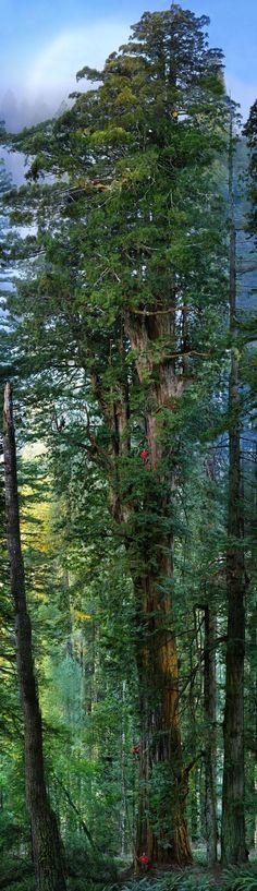 'sequoia' tree. Sequoia National Park, California.