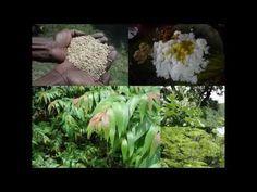 Medicinal Rice B4 Formulations for Painful Phalanges: Pankaj Oudhia's Me...