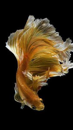 Colorful Fish, Tropical Fish, Freshwater Aquarium, Aquarium Fish, Koi Betta, Calming Pictures, Betta Fish Types, Beautiful Sea Creatures, Golden Fish