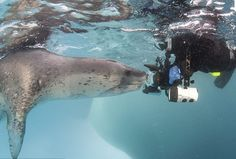 Leopard Seal encounter! Source: National Geographic