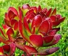 sukulenty - Fotoalbum - Sbírkové rostliny - Sbírkové rostliny - Crassula dejecta