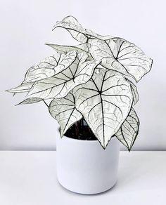 House Plants Decor, Garden Plants, Indoor Plants, Caladium Garden, Decoration Plante, Fast Growing Plants, Plants Are Friends, Bottle Garden, Exotic Plants