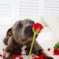 ❤️ Happy Valentines Day to all the beautiful staffy girls.