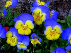 Flowers pic | Flowers Plants Trees Gardening photos - Johnny Jump Ups