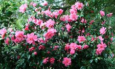Camelias - many colors, winter blooming