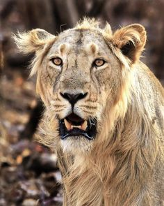 Asiatic Lion by Abhishek Chatterjee on 500px