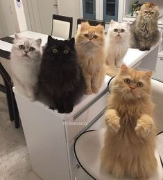"""The Japan-based owner of 12 fancy kitties, who proudly describes herself as a """"full-time cat mom"""" reveals what it's like to live with spoiled indoor chinchilla Persians and breaks all the cat lady ste #persiancatkitty"""