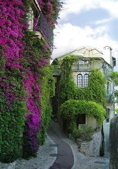 Bougainvillea, St Paul de Vence, France _ Bougainvillea is a genus of flowering plants native to South America from Brazil west to Perú and south to southern Argentina. Different authors accept between four and 18 species in the genus.