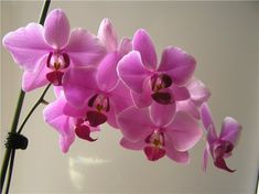 Орхидея фаленосис напоминает легкую, изящную и хрупкую бабочку. Начинающие коллекционеры орхидей не просто размножать, дышать на нее боятся. Но не стоит бояться. Первое впечатление, как говорится, обманчиво... Plants