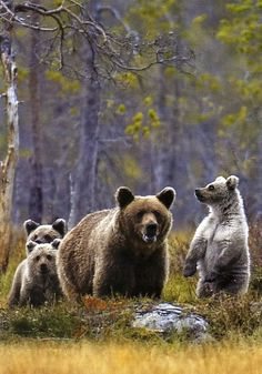 Lappland, Animals And Pets, Cute Animals, Bear Cubs, Bears, Animal Totems, Brown Bear, Nature Pictures, Beautiful Creatures