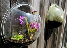 Carnivorous Plants in Old Fish Bowls - Should be on every fence in America