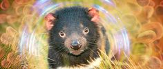 Tasmanian Devils are Evolving to Resist a Contagious Face Cancer