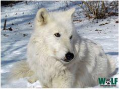 wolf arctic anime wild