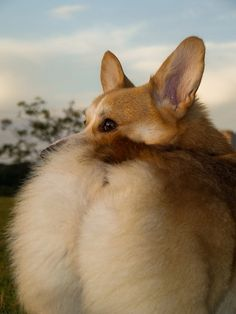 Corgis -Props to this furry powerhouse, be packin it more than me <3