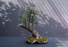 """Hawthorn/Crataegus monogyna Height 13.5""""/33cm Developed from a collected tree stump"""