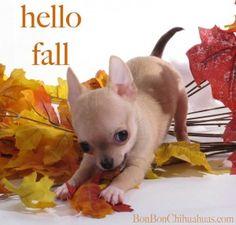 chihuahua puppy & fall leaves