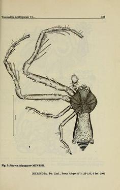 Tomisídeos neotropicais VI: Sidyma kolpogaster Lise, 1973: descrição do macho e nova ocorrência (Araneae, Thomisidae, Stephanopsinae)