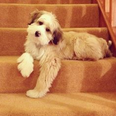 best photos, pictures and images about tibetan terrier - oldest dog breeds Tibet Terrier, Le Terrier, Terrier Breeds, Dog Breeds, Cute Puppies, Cute Dogs, Dogs And Puppies, Sweet Dogs, Doggies