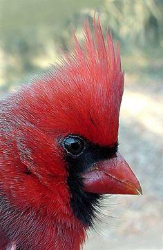 Cardinal - I love collecting cardinals!!!