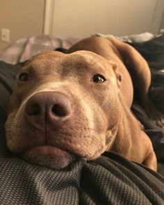 pitbull dog October is Pit Bull Awareness Month, and its a great time to share some positive stories of Pit Bull type dogs. Pitbull Terrier, Amstaff Terrier, Bull Terriers, Terrier Dogs, Boston Terrier, Cute Dogs And Puppies, I Love Dogs, Doggies, Pit Bull Puppies