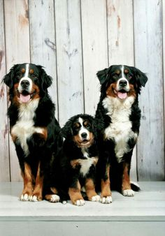 Three Bernese Mountain Dogs posed for an adorable family photo. Happy pups equal happy life! Who agrees?