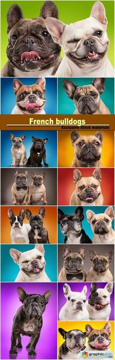 French bulldogs isolated over colored background  stock images