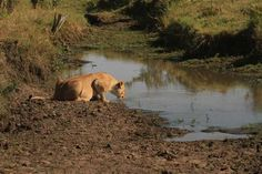 Wildlife in major game reserves face threat as Mara River dries up
