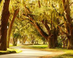 Avenue of the Oaks to Sea Island.