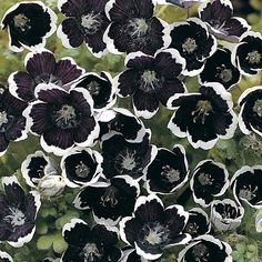 Nemophila menziesii 'Penny Black' Hydrophyllaceae Baby Blue Eyes Sumptuous ¾in rich deep purple to black flowers with a scalloped silvery-white edge. Dark Flowers, Black And White Flowers, Beautiful Flowers, Black White, Periannual Flowers, Gothic Flowers, Beautiful Pictures, Bonsai Plante, Gothic Garden