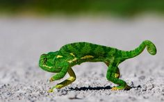 #Chameleon #tiptoes across a road. #lizard #reptile