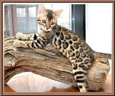 Bengal Cat!
