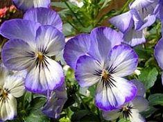 Viola tricolor, Amor-perfeito, Amor-perfeito-miniatura, Mini-amor-perfeito