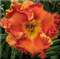 Parrot Moon - D Trimmer 2011 - Daylily Hibiscus Flowers, Exotic Flowers, Orange Flowers, Amazing Flowers, Love Flowers, Hawaiian Flowers, Cactus Flower, Yellow Roses, Pink Roses