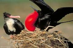 Frigate bird courtship