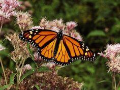 Butterfly-Monarch