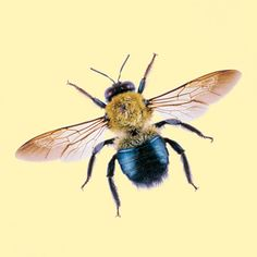Bee Identifer Carpenter Bores Round Holes Into Untreated Wood Females Build Nests